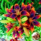 2pcs / Bag Rare Yeelow  Lily Bulb, Bonsai, It Is Bulb, Bonsai Lily Bul