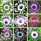 Double 11 Free Shipping 100 Pcs Osteospermum bonsai Potted Flowering P