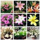100 pcs Zephyranthes Candida Bonsai lily flower flores indoor bonsai p