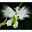 White Dove Orchids Bonsai World's Rare Flower Japanese Radiata Bonsai