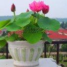 Loss Promotion!5pcs/bag Lotus Flower lotus Bonsai Aquatic Plants Bowl