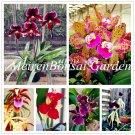 Genuine! 100 pcs Japanese plant Orchid Bonsai flores World's Rare Orch