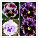 Garden Plant Mixed Pansy Bonsai 200 Pcs Flower Colorful Outdoor & Indo