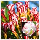 Oxalis versicolor flowers Bonsai,100PCS World's Rare Flowers For  home