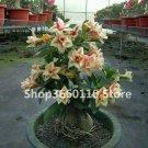 Genuine Desert Rose Plantas rare Adenium Obesum flower Plants 20 pcs F
