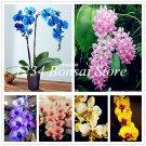 100 Pcs Phalaenopsis bonsai, Phalaenopsis Orchid Pot Bonsai Flower pla