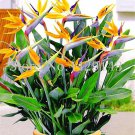 100 Pcs Strelitzia bonsai Garden Perennials Flower Bird of Paradise pl