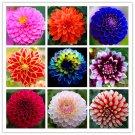 100 PCS/PACK Dahlia Flower Plants,beautiful and Popular Flower,Bonsai
