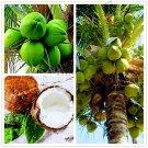 10 Pcs/bag,Coconut tree bonsai, tropical High Nutrition Juicy  Fruit,P