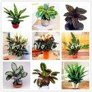 Sale! 100 Pcs America Calathea Air Freshening Plants Beautiful Flowers