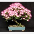 20pcs bonsai Albizia Flower bonsais called Mimosa Silk Tree ,bonsais f