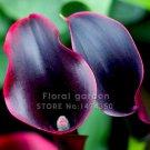Hot Sale 100 Pcs/bag Flower plants  black Calla Bonsai  plants Balcony