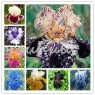 100 Pcs Iris Bonsai, Many Kinds Of Color Iris Potted Iris Orchid Semen