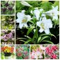 100 Pcs Specials Pink Heart Lily Plant Potted Bonsai Plant Lily Flower