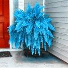 100 Pcs/Lot Blue Bracken Fern Bonsai Plants Rare Fiddlehead Succulent