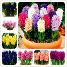 100pcs/bag hyacinth Plants bonsai Flower Garden (not hyacinth bulb)Hol