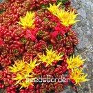 Lowest Price! 100 Pcs/Lot Sedum Oreganum Plants Bonsai Succulent Plant