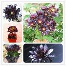 Aeonium arboreum 100PCS The World's Rare Black Stones Flowers Bonsai