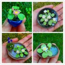 mixed Colors Available,Hydroponic flowers small water lily garden mini
