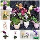 200 pcs Japanese Mini Orchid Bonsai Flores Plant World's Rare Orquidea