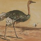 1856 Antique Print Hand Colored The Ostrich