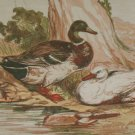 1856 Antique Print Hand Colored The Duck