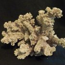 "Finger Coral  (Acropora Humilis) approximately 7"" x 7"" -Real-"