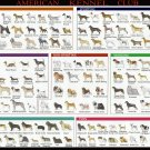 American Kennel Dog Breeds Club Chart  24x35 inches Canvas Print