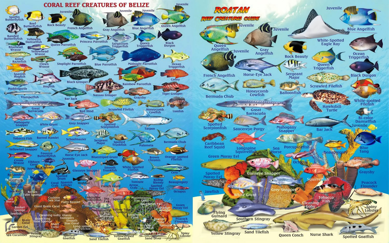 Coral Reef Creatures of Belize & Roatan Chart  18x28 inches Canvas Print