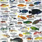 Red Sea Fish Chart  18x28 inches Poster Print