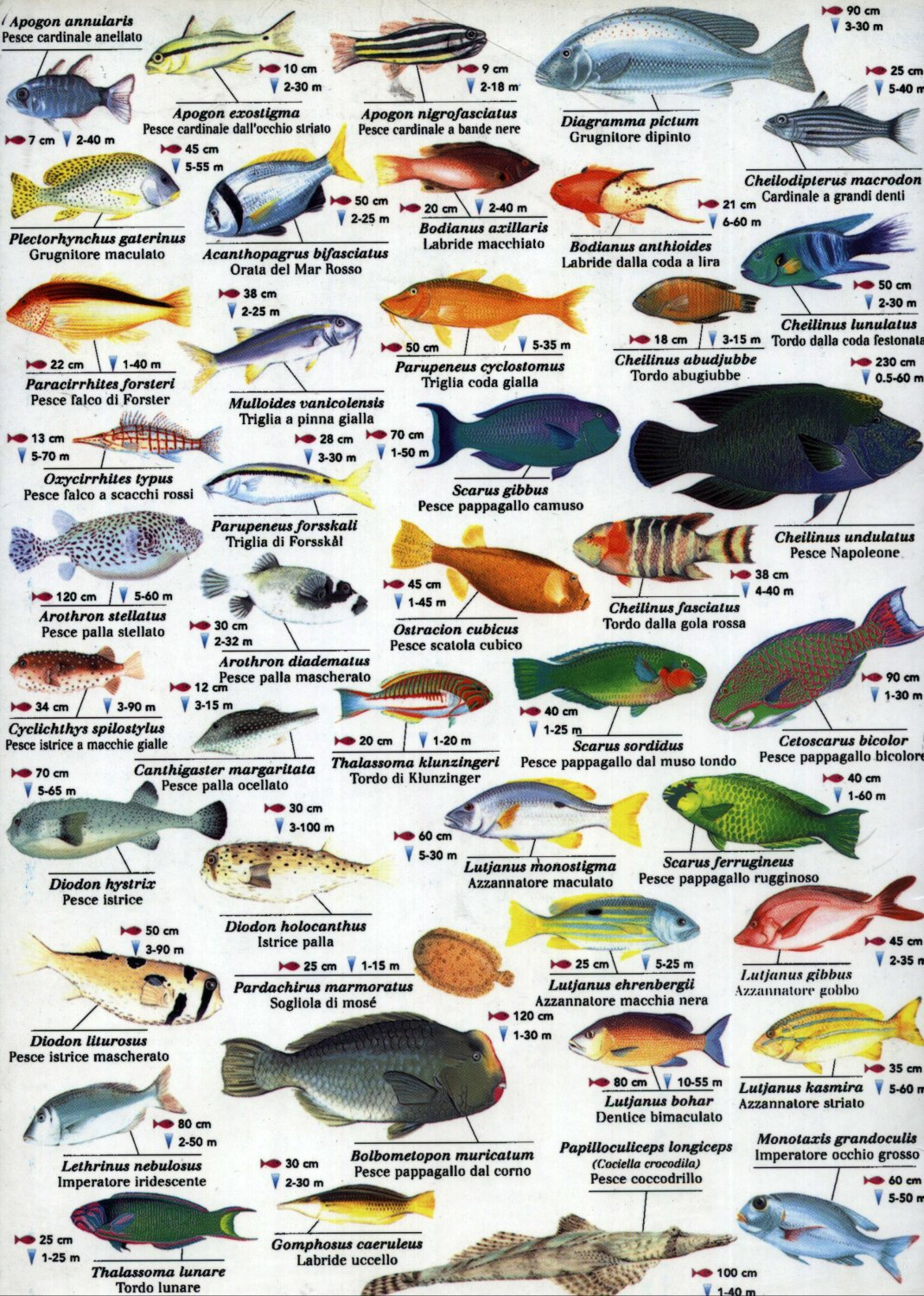 Red Sea Fish Chart  18x28 inches Canvas Print