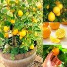 "SEEDS – Self-pollinating Dwarf Meyer Lemon ""Citrus meyeri"" Indoor Outdoor Tree"