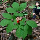 SEEDS Extra Rare!! WILD CANADIAN Ginseng Stratified Ready for 2021-2022 Season!
