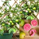 "SEEDS - Dwarf Ruby Guava – ""Psidium guajava"" Thailand Exotic Tropical Pink Flesh"