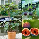 "SEEDS – Self-Fertile Hardy Dwarf Fig ""Noire de Bellone"" This fig is perfect for a patio!"