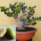 SEEDS - Dwarf Lattarula Fig (Italian Honey Fig) Very Hardy. Perfect to grow in Pots!