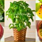 """SEEDS – Dwarf Passion Fruit """"Panama Red Pandora Hybrid"""" (Passiflora edulis) Exotic Bonsai"""