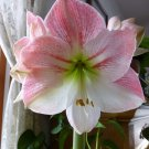 1 Amaryllis Bulb Apple Blossom - Pink and White Pots and Planters Cut Flowers