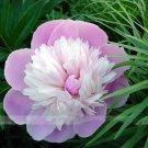 5 Seeds Pink And White Japanese Peony Flower Seeds Rare 'Smith Lady' Tree Peony