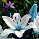 10 Seeds Lily Blue Heart Flower Seeds Lilium Brownii Bonsai Potted Garden Plant