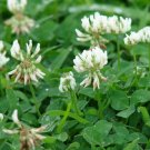 Ladino White Winter Clover Cover Green Manure Bee Forage Garden 1/4 ounce Seed