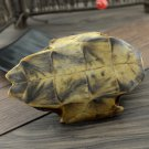 Gui Ban 500g Tortoise Shell Carapax et Plastrum Testudinis