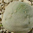 Guarantee Rare Imported Bonsai Succulent Pseudolithos Cubiformis 1 Seed