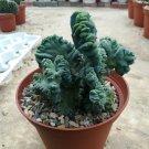 Guarantee Myrtillocactus Geometrizans 5 Seeds DL289CTx1