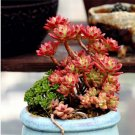 Guarantee Rare Special Red Echeveria Macdougallii 20 Seeds