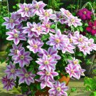 Guarantee Clematis Roots Rare Multi-Colored Clematis Vine Flower Perennial 2 Pcs