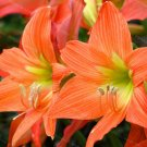 Guarantee True Orange Amaryllis Flowers Hippeastrum Rutilum 2 Bulbs