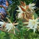 Guarantee  Epiphyllum Anguliger Fishbone Succulent Zig Zag Cactus 100 Seeds