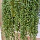 Guarantee Senecio Rowleyanus Bonsai Pearl Chlorophytum Succulent Plant 100 Seeds