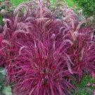 Guarantee Pennisetum setaceum Fireworks Fountain Grass 50 Seeds